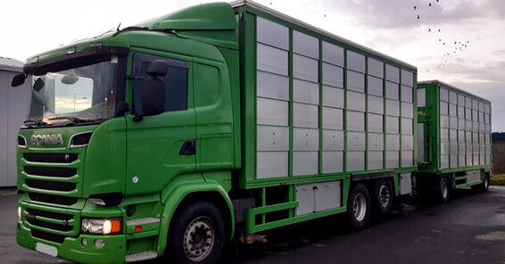 SCANIA R520 V8 for pigs - calves - sheep livestock truck + livestock trailer