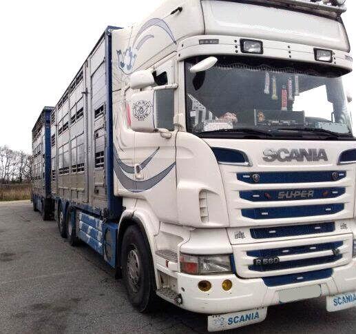 SCANIA R560 V8 For animal transport with trailer livestock truck + livestock trailer